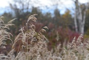 17th Oct 2015 - the grasses...