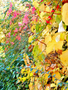 19th Oct 2015 - shades of autumn.........