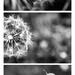 Dandelion triptych by pistache