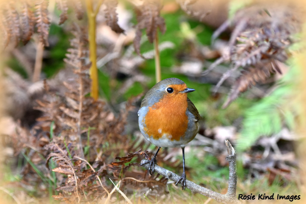 I'm afraid it's another robin by rosiekind