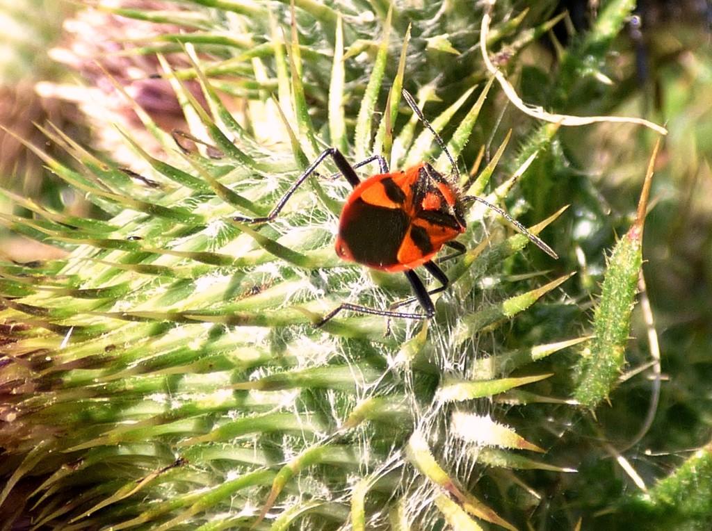 Scarlet Shieldbug (Eurydema dominulus)  by julienne1