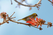21st Oct 2015 - 2015 10 21 - Cape white-eye