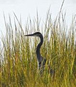 21st Oct 2015 - Among the marsh grass.
