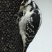 Hairy Woodpecker by annepann