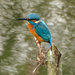 Kingfisher by barrowlane