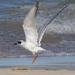 Forster's Tern, Lake Michigan by annepann