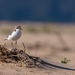 Red-capped plover by pusspup