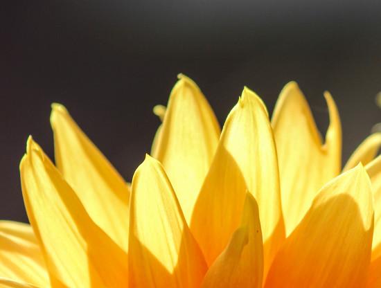 Sunshine on a dahlia by stiggle