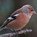 CHAFFINCH by markp