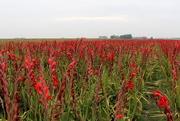 26th Oct 2015 - Gladiolus field