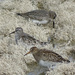 Pectoral Sandpiper and Two Dunlin by annepann