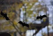 27th Oct 2015 - Flying Bats
