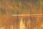 27th Oct 2015 - on golden pond