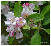 28th Oct 2015 - Bee's and Apple blossoms