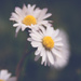 Just another daisy by brigette