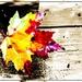 Maple Leaf by olivetreeann