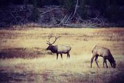 28th Oct 2015 - Yellowstone Elk