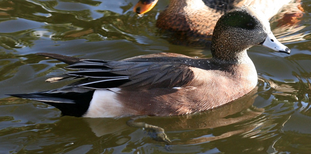 An American Wigeon by kerristephens