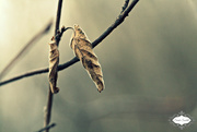 29th Oct 2015 - Dead leaf