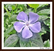 30th Oct 2015 - Periwinkle in the Hedgerows.
