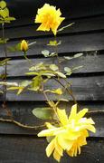 31st Oct 2015 - Yellow roses...