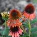 Still Blooming by genealogygenie