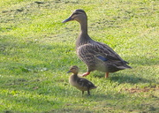 30th Oct 2015 - The last duckling