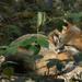 Sleeping Fox by fntngrma