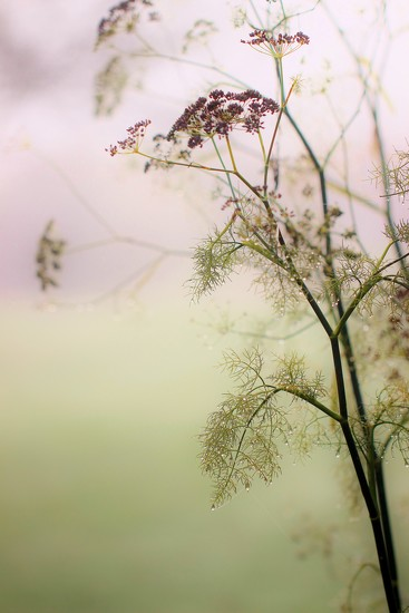 Foggy Day Fennel by motherjane
