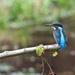 Kingfisher-best on black. by padlock