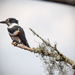 Femal Belted Kingfisher by rickster549