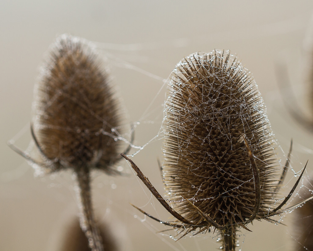 teasels and web by jantan