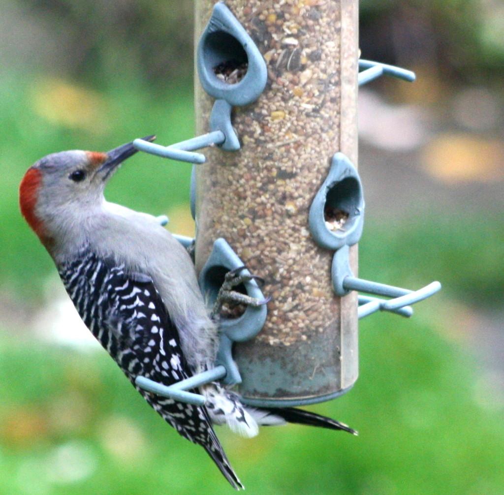 Red bellied woodpecker by bruni