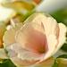 Pink Begonia by elisasaeter
