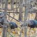 Wild Turkeys by tosee