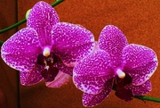 7th Nov 2015 - Orchid.....