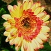 My new Gerbera.... by happysnaps