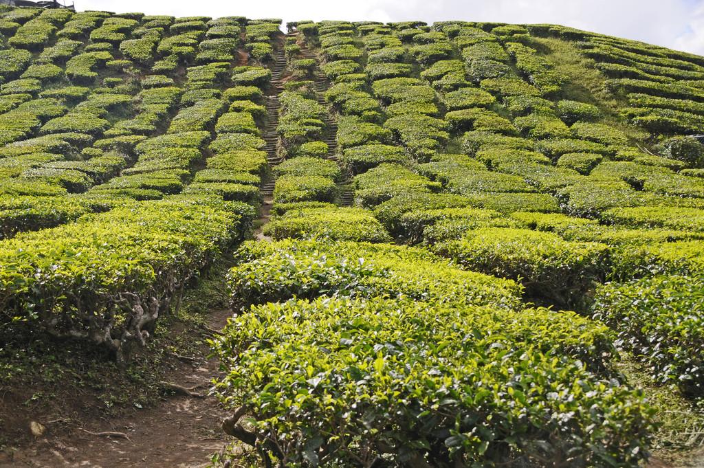Tea Plantation Cameron Highland by ianjb21