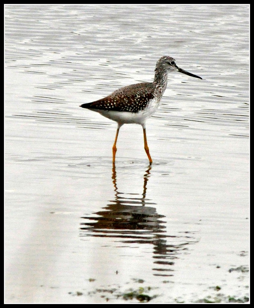 Yellow legs late afternoon stroll. by sailingmusic