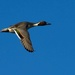 northern pintail by mjalkotzy