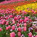 A Sea of Tulips by terryliv
