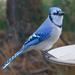 Blue Jay at the birdbath by annepann
