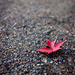 One red leaf by kiwichick