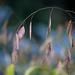 Northern Sea Oat Grass! by fayefaye