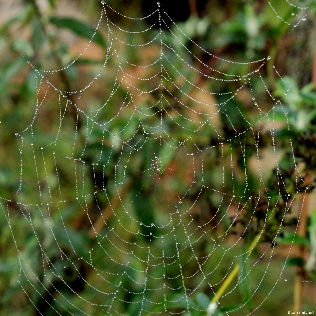 First decent dew-covered spider web by rhoing