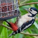 Greater Spotted Woodpecker by padlock