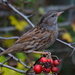 DUNNOCK AND BERRIES by markp