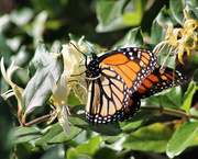11th Nov 2015 - Sunshine and Monarchs