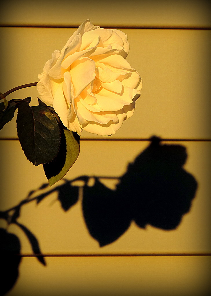 Golden rose and shadow! by homeschoolmom