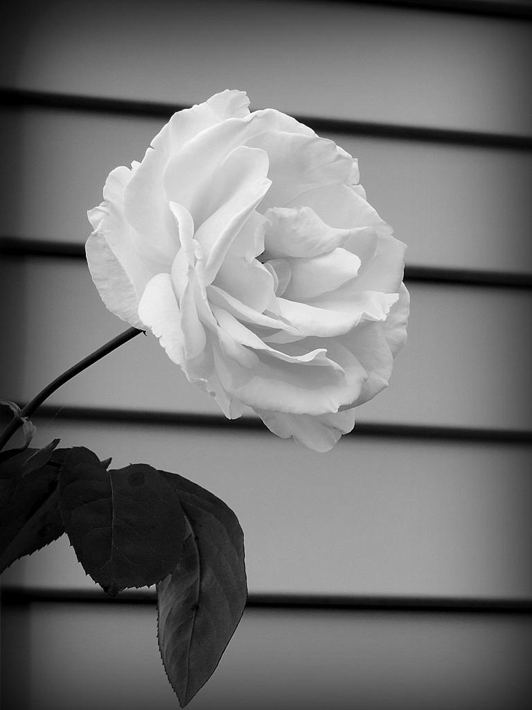 BW Rose! by homeschoolmom